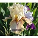 Thornbird Iris