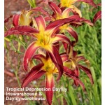 Tropical Depression Daylily