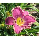 Victorian Christmas Daylily