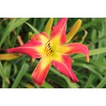 Whip City Jittie Daylily