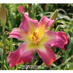 White Eyes Pink Dragon Daylily
