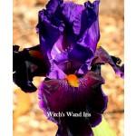 Witchs Wand Iris