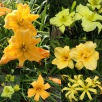 Yellow Daylily Collection