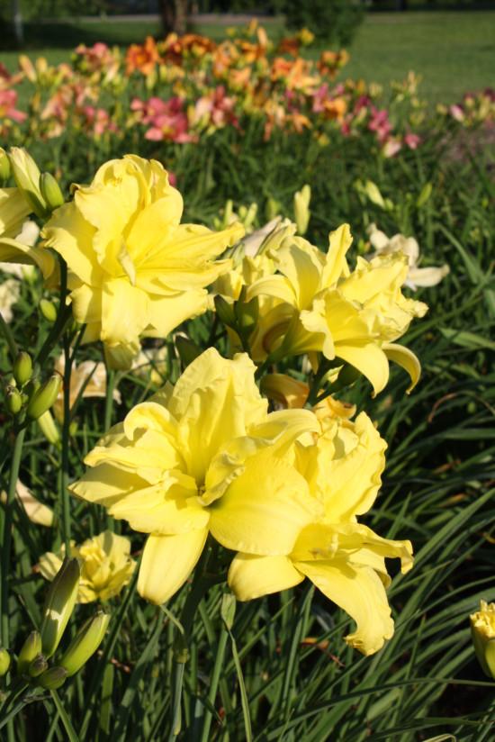 Iriswarehouse beautiful daylily products